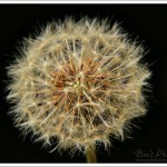 A dandelion seed head catching the early morning sun, against an area of deep shadow.