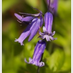 The intense and fabulous colour of native British bluebells in the early evening sunshine.