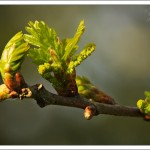 All the buds are emerging and this oak leaf cluster opens with the male flowers already in place.