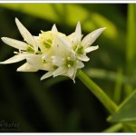 Another of my spring time favourites; wild garlic or ramsens.