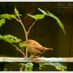 It looks like this wren was stood still all day, where in reality it flashed through the scene in about 2 seconds.