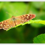 We walked around a nature reserve and spotted a few Speckled Wood butterflies under the trees.