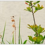 There were masses of dragonflies - and large ones too - flitting about, but rather too far away to get a decent photograph.
