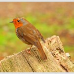 This robin followed us for a while - I think he knew I keep sunflower seeds in my camera bag.