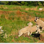 It was hard to catch these lambs boinging, as they tend to randomly launch upwards without warning.