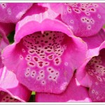 I always wonder at the complexity of flowers such as foxgloves, in their efforts to attract insects.