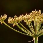 Roe deer bucks and late-onset allergies