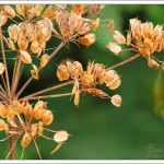 Seed heads from cowslip flowers, also known as Queen Anne's Lace for the delicate lace like appearance of the tiny flowers.