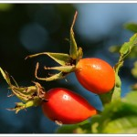 The ripe rosehips are the most fabulous rich colours.