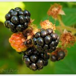 Ripe blackberries with still more to come.