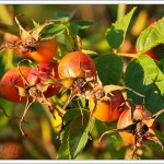 Rosehips, a very typical sign of the end of summer.
