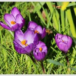 There were several bees busy taking advantage of the sudden warmth and wide open crocuses.