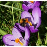 What could be more cheerful after a long winter than seeing this vibrant splash of colour and a bee busy at work.
