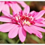 Double flowered Marguerite daisy with tiny central florets in a range of pinks.