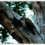 A green woodpecker visited late each evening to roost in a dead tree. Here she's about to pop into her bed chamber.