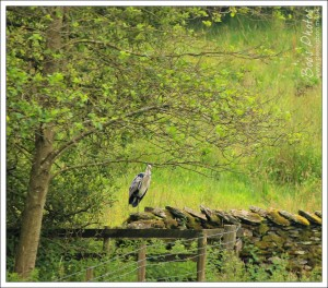 The local heron's favourite roost after breakfast to do some preening and let his meal settle.