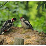 Great spotted woodpeckers - Dad feeds the youngster on a nearby tree stump.