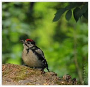 The Great Spotted Woodpecker youngster waited to be fed. He was actually perfectly capable of feeding himself, which he happily did when no one was watching.