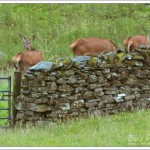 A party of 5 red deer hinds (only 3 visible here) who came down to feed late one evening in torrential rain.