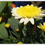 These daisies are quite yellow when they open and as they grow, the outer petals get gradually paler.