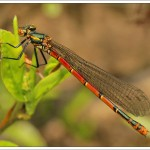 A female large red damselfly that has visited me a few times now and it's a delight to see.