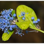 A new plant in the garden, a Ceanothus with tiny indigo florets - which are the most complicated and delicate structure.