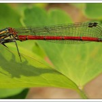 I've been delighted to see these visiting large red damselfly in the garden this spring. I think I've identified 3 different individuals.