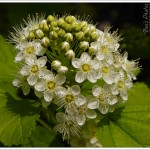 This plant is called Physocarpus opulifolius [ninebark] 'Dart's Gold' and gets a fabulous flush of these domes of tiny blossom, unfortunately, there's only one flowering and it's all over too soon.