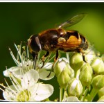 I do love hoverflies - this plant Dart's Gold has a mass of these domes of tiny white flowers and insects just love it.