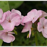 These garden geraniums have been the most lovely delicate colour this summer.