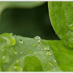 What could be prettier than a tiny spherical raindrop on the gorgeous contours of a large waxy leaf.