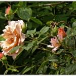 The photo isn't sideways - this rose, which instructs you not to prune it, now flowers about 12 foot off the ground and they then flop over horizontally. I think I'm going to have to prune it after all, or I can't enjoy the flowers at all.