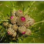 Thistles are the most astonishingly complicated and rather ferocious looking plants,