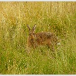 You can see with all the tones and textures in the grass, how the hares blend in so well with their surroundings.