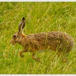 We were delighted to be visited by a hare on several occasions, although it was only when the weather was lousy - so the light was low and the grass was blowing.