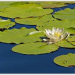 Water lillies and lots of common blue damselflies at Tarn Hows in the English Lake District.